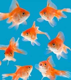 iStock_000012629730Small GOLD FISH 420-470