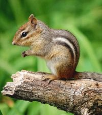 Closeup of a cute chipmunk standing on a tree stump in profile view with green grass background.