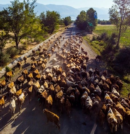 Aerial view of cows in a country road, East of Turke